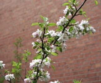 Apfelbaum an der Rogatekirche